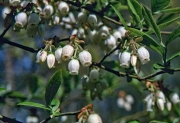 Blueberries have hanging bell-like blossoms.