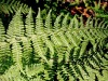 The Aromatic Fern