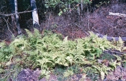 Hay Scented Fern Colony 2