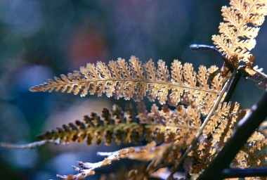 Marsh Fern Spores 2