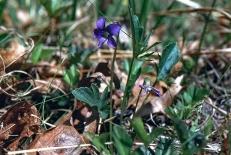 Viola Britaniana img756 2