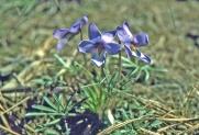 Violet Birdsfoot 719 2