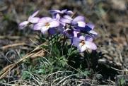 Violet Birdsfoot img127 2