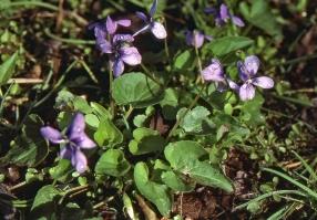 Violet Marsh Blue 2