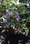 A Wetland Violet