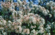 Beach Plum Flowers 2