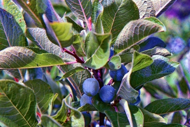 Beach Plum Fruit 2