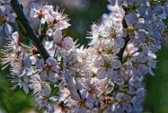Beach Plum iFlowers 2
