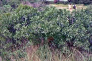 Beach Plum Thicket 2