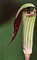 Jack in the Pulpit Flower 2