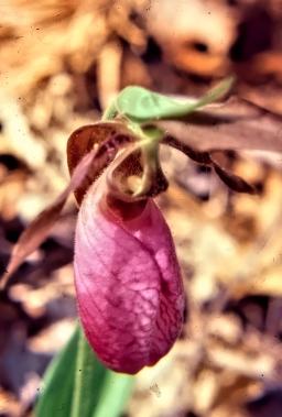Lady Slipper Orchid Close Up-adjust