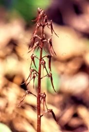 Listeria austalis 3-adjust