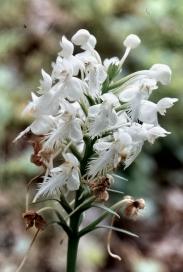 White Fringedd Orchis-adjust