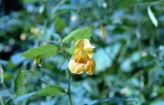 Jewelweed 2 compressed