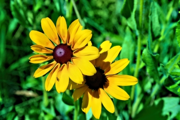 Black Eyed Susan AI