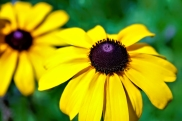 Black Eyed Susan Single AI