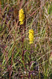 Downy Goldenrod 4