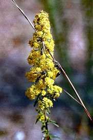 Downy Goldenrod with Wasps 2