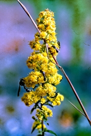Downy Goldenrod with Wasps