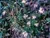 Heath Aster FeedsInsects