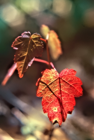 Maples Red Leaf Red ps
