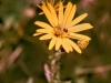 The Golden Aster