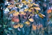 Witch Hazel Fall Colors ps
