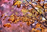 Witch Hazel Flowers and Leaves ps