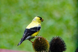 Goldfinch Eating Seed compressed
