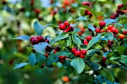 Winterberry Holly Berries Close up