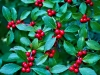 The Holly That Loses itsLeaves
