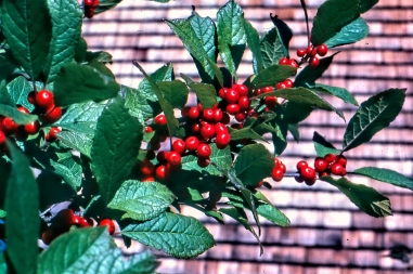 Winterberry Holly img130 ps