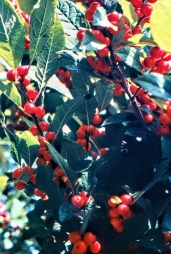 Winterberry Holly img914 ps