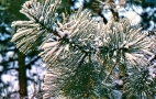 Pitch Pine img326 ps