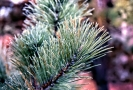 Pitch Pine img329 ps