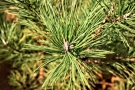 Pitch Pine Needles PS