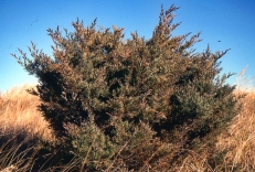 Eastern Red Cedar img052 PS