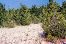 Eastern Red Cedar PS